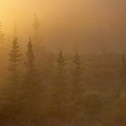 Black spruce trees shrouded in fog during autumn in Denaii National Park, Alaska.