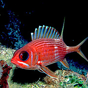 Longspine Squirrelfish inhabit reefs in the Tropical West Atlantic; picture taken Grand Cayman.