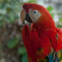 A captive Scarlet Macaw (Ara macao) perches in a tree near Iquitos, Peru.