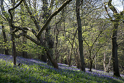 Sulham, UK. 23rd April, 2021. Bluebells bloom in early morning sunlight in Sulham Woods. The UK is home to over half of the world's population of bluebells, split between the native English or British bluebell (Hyacinthoides non-scripta), as seen in Sulham Woods, which is protected under the Wildlife and Countryside Act 1981, and the fast spreading Spanish bluebell (Hyacinthoides hispanica).
