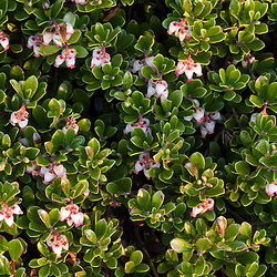Bearberry, Arctostaphylos uva-ursi, blooms above treeline on Cadillac Mountain in Maine's Acadia National Park.
