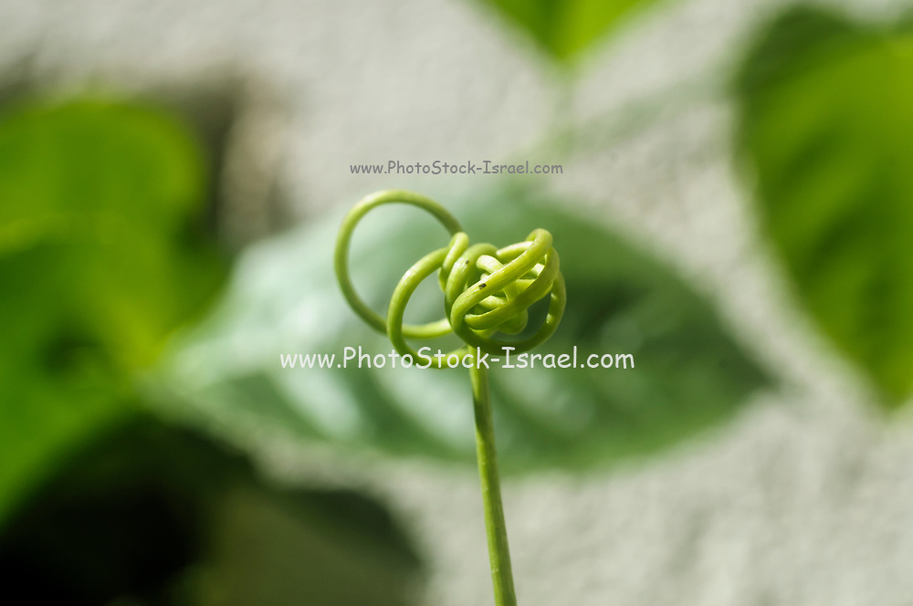 Close up of a tendril of a Passiflora (passionflower) plant