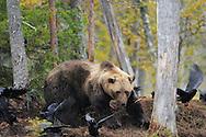 Eurasian brown bear, Ursus arctos and Raven, Corvus corax in Kuhmo, Finland.