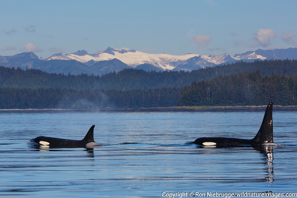 Orcas from the AF5 pod, Frederick Sound, Tongass National Forest, Alaska.