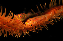 Whip coral goby, Bryaninops youngei, Egypt, Red Sea
