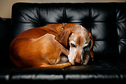 """SHOT 11/6/17 5:55:19 PM - Tanner, a 13 year-old Vizsla, curls up into a ball on his sofa at his home in Denver, Co. Originally from Hungary, the Vizsla is a medium-sized, short-coated hunting dog that is essentially Pointer in type, although he combines characteristics of both pointer and retriever. An attractive golden rust in color, this """"dual"""" dog is popular in both the field and the show ring due to his power and drive. (Photo by Marc Piscotty / © 2017)"""