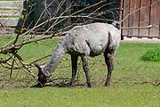 Llama grazing in a field