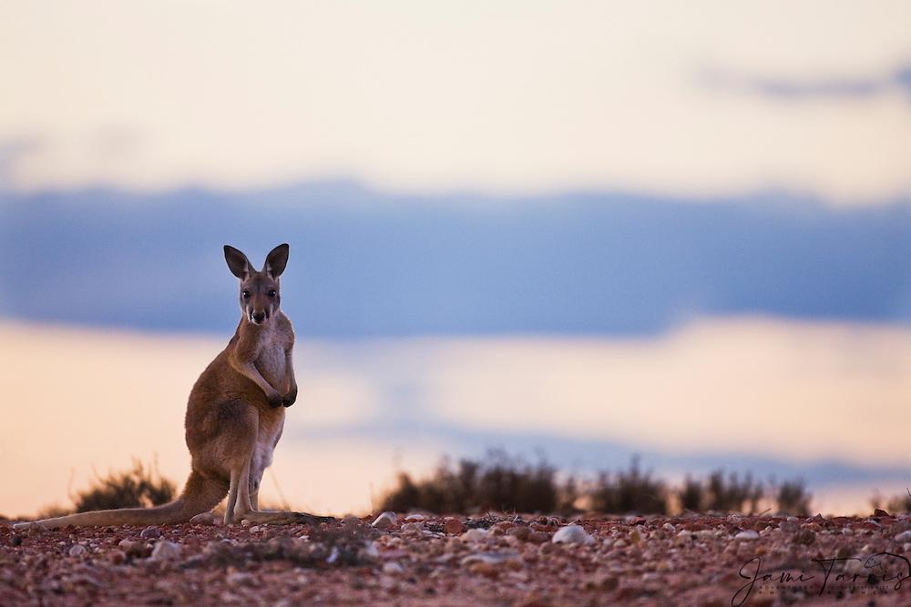 A young male red kangaroo  (Macropus rufus)  stops to pose at dusk,  Sturt Stony Desert,  Australia
