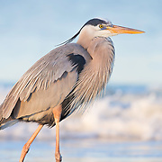 Great blue heron (Ardea herodias) in exquisite spring plumage, wading through surf at sunrise. Gulf of Mexico, adjacent to Little Estero Critical Wildlife Area.