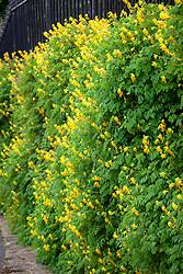 Yellow corydalis growing on a wall in Yorkshire. Corydalis lutea syn. Pseudofumaria lutea