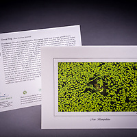 This green frog tries to camouflage itself in duckweed. Young kids love this card! Also available as a fine art print. <br /> <br /> Artemis Photo Greeting Cards featuring NH native flora and fauna and historic sites. The cards are made exclusively in NH made from 100% FSC recycled paper, manufactured with wind and water power, and are archival acid free paper. Each card includes details on the back about the image, including interesting anecdotes, historic facts, conservation status, and recipes.