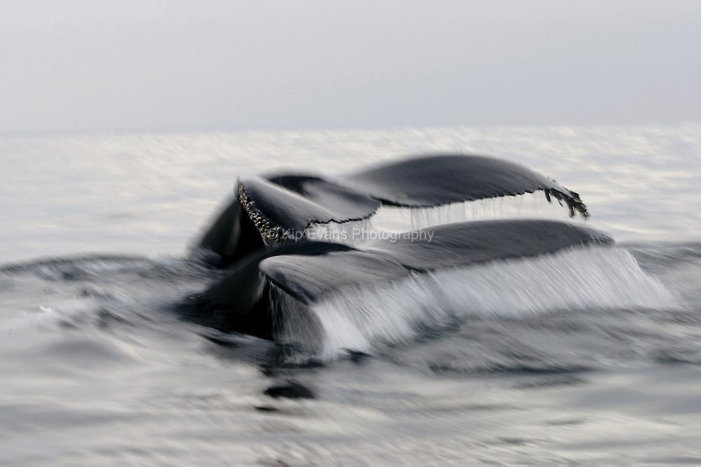 Humpback whale tails on foggy Monterey Bay - Megaptera novaeangliae