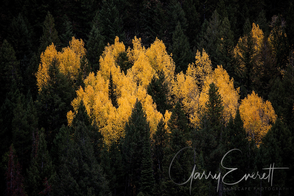 Fall Aspen on the way to Lower Slide Lake on Gros Ventre Rd, near Jackson, WY.<br /> <br /> This image was published in Outdoor Photographer magazine.