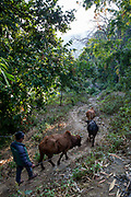An elderly man heading his three cows out for feeding, on the 3rd of March 2020 in  the village of Raniswara, Ghairung, Gorkha, Nepal.