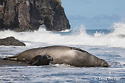 Hawaiian monk seal, Monachus schauinslandi ( Critically Endangered species, endemic to Hawaiian Islands  ), and two week old pup are struck by a wave while resting on beach, Waimanu Valley, Hawaii Island ( Pacific Ocean )