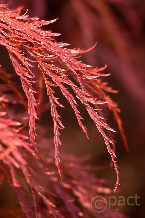 fine red japanese maple leaf, Hoevelaken, Gelderland, the Neterlands, april 2007