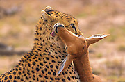Cheetah throttling captured topi calf