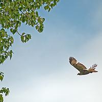 A Red-tailed Hawk (Buteo jamaicensis) flies above Montana's Gallatin Valley near Bozeman.