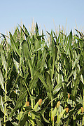 Vertical closeup of corn growing<br />