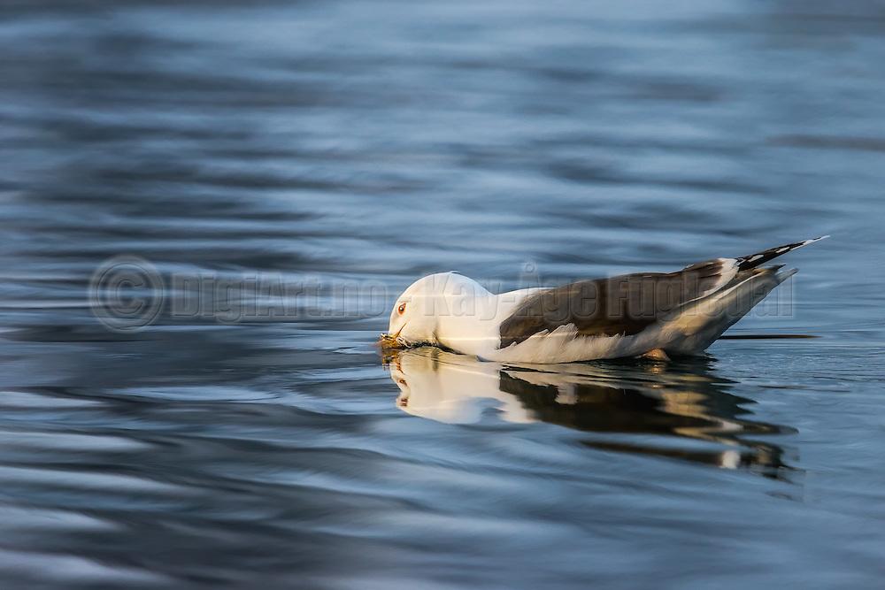 Seagull playing with the water, it almost looks like he is huging himself | Måke som leker i sjøen, det ser nesten ut som han klemmer seg selv.