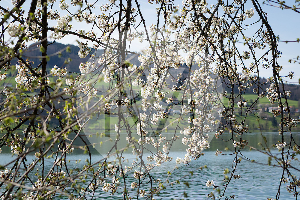 SCHWEIZ - MEISTERSCHWANDEN - Blühender Kirschbaum - 14. April 2015 © Raphael Hünerfauth - http://huenerfauth.ch