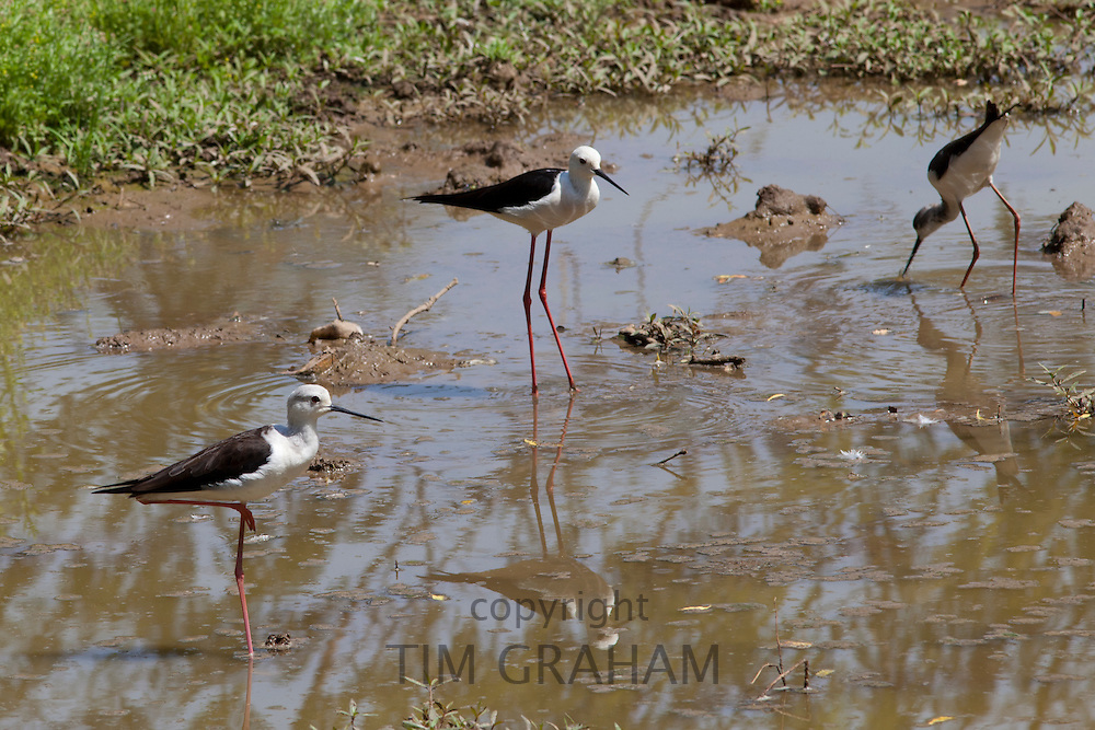 Black Winged Stilts, Himantopus himantopus, in water hole at Kutalpura Village in Rajasthan, Northern India