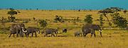 Elephant family on the move, Serengeti National Park, Tanzania