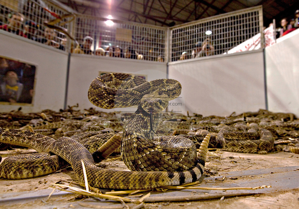 A western diamondback rattler prepares to strike in the snake holding pit during the 51st Annual Sweetwater Texas Rattlesnake Round-Up March 14, 2009 in Sweetwater, Texas. During the three-day event approximately 240,000 pounds of rattlesnake will be collected, milked and served to support charity.