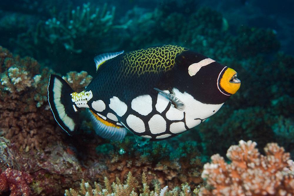 A Clown Triggerfish, Balistoides conspicillum, swims over a coral reef in Beqa Lagoon, Pacific Harbor, Viti Levu, Fiji.