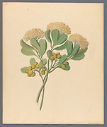 Pentandria Mon. [Pittosporum viridiflorum] (1817) Pittosporum viridiflorum (Cape cheesewood) from a collection of ' Drawings of plants collected at Cape Town ' by Clemenz Heinrich, Wehdemann, 1762-1835 Collected and drawn in the Cape Colony, South Africa