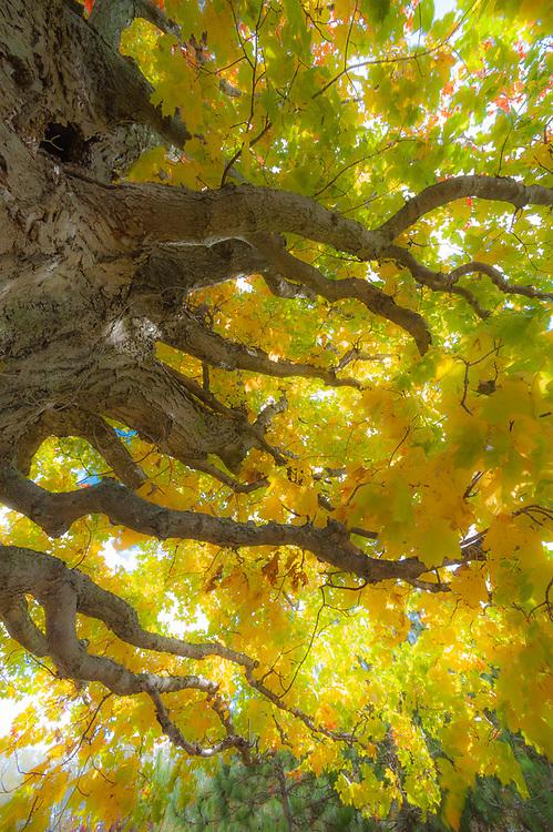 Maple tree (Acer species), morning light, October, Emmet County, Michigan, USA