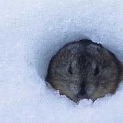 Collared Lemming (Dicrostonyx groenlandicus) burrowed in snow. Nunavut Territory. Canada.