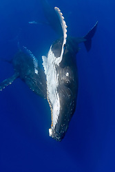 humpback whales, Megaptera novaeangliae, courtship behavior - males approach female while blowing bubbles aggressively, Hawaii, Pacific Ocean