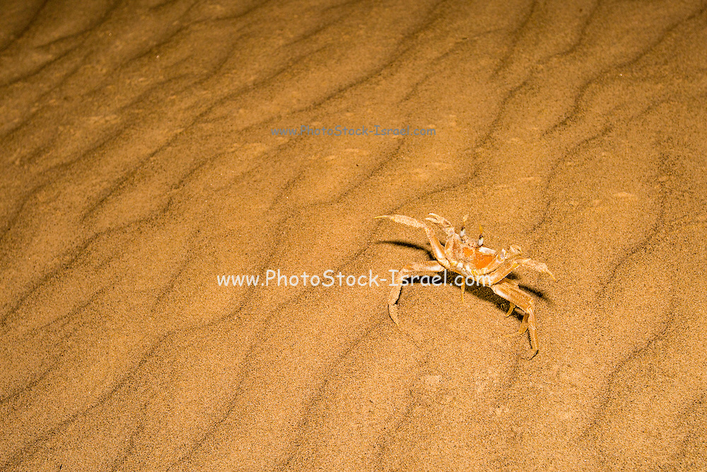 tufted ghost crab (Ocypode cursor) on sand. Ghost crabs live on sandy shores in tropical and subtropical regions around the world. Photographed on the Mediterranean Shore, Israel in August