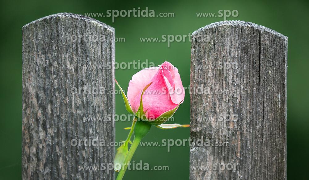 THEMENBILD - eine rosa Rosenknospe zwischen zwei Holzbretter, aufgenommen am 09. Juni 2018, Kaprun, Österreich // a pink rosebud between two wooden boards on 2018/06/09, Kaprun, Austria. EXPA Pictures © 2018, PhotoCredit: EXPA/ Stefanie Oberhauser