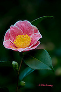 Camellia japonica, a pink flower with large yellow centre