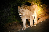 Young lion (Panthera leo) in the dark on a night game drive at Addo National Park, Eastern Cape, South Africa. ISO 25600!