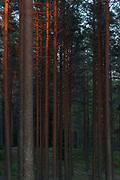 Sunset colour plays over scots pines (Pinus sylvestris) in lichen rich forests on inland dunes, near Strenči, Vidzeme, Latvia Ⓒ Davis Ulands | davisulands.com