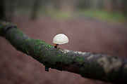 Tiny mushroom growing on a branch in the Shropshire Hills, a designated Area of Outstanding Natural Beauty on 13th November 2019 near Burwarton, Shropshire, United Kingdom. The Shropshire Hills, located in the Welsh Marches, are relatively high: the highest point in the county, Brown Clee Hill, near Ludlow, has an altitude of 540 metres.