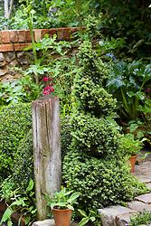 Spiral box topiary. A Shady Courtyard Garden. Design: Fiona Bruce - Chelsea 2005
