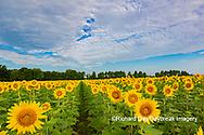 63801-11115 Sunflowers in field Jasper Co.  IL