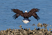 What appears to be a four-winged bald eagle (Haliaeetus leucocephalus) is one eagle attacking another from behind at the edge of Hood Canal near Seabeck, Washington. While bald eagles are highly skilled at catching fish, when they congregate, they tend to steal food from other eagles.