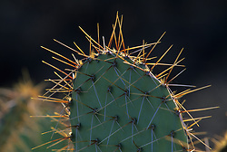 North America, United States, Arizona, Saguaro National Monument, Prickly Pear cactus