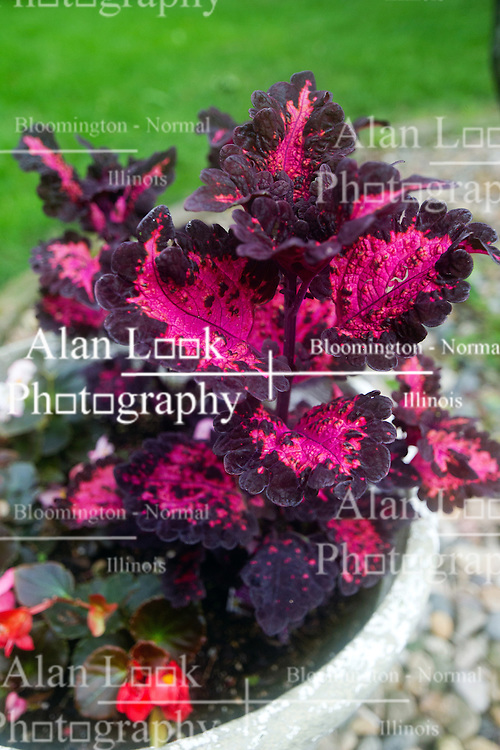 30 June 2014:  red and white begonias and red and purple coleus in a planter