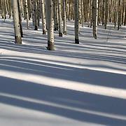 Aspen forest in winter near Aspen, Colorado.