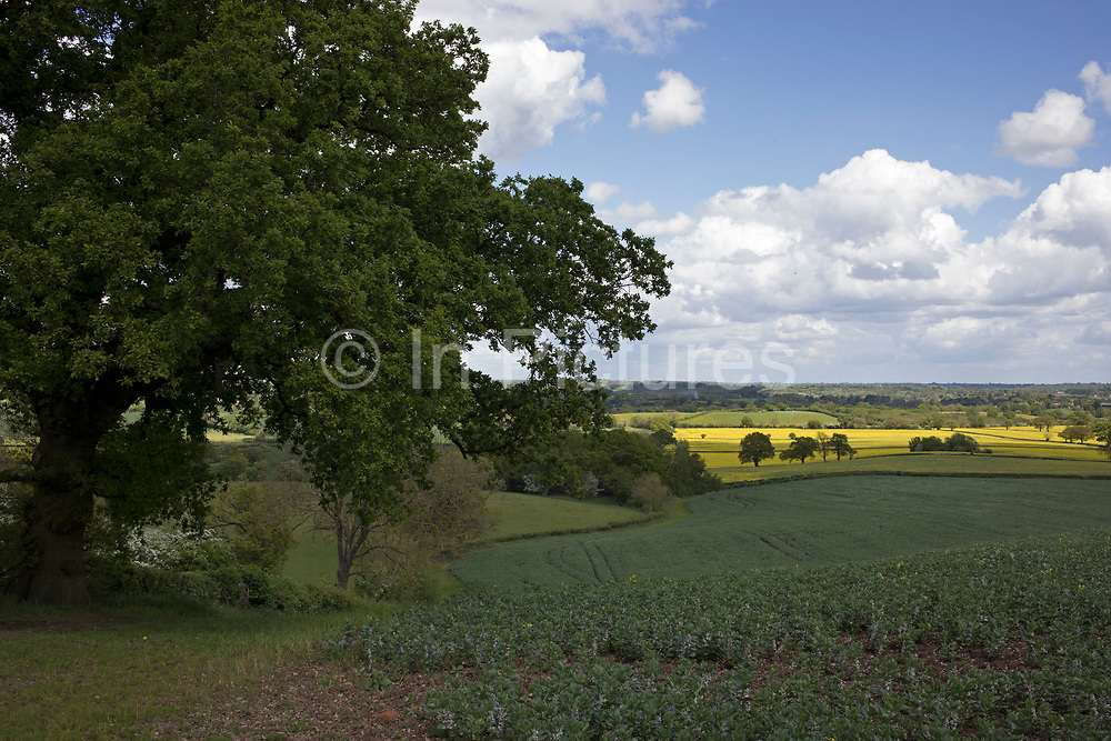 Oil Seed Rape fields in the British countryside near Studley, Warwickshire, England, United Kingdom.