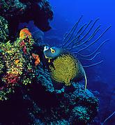 A French Angelfish feeds on coral on reef near Roatan, Honduras.