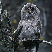 Great gray owl fledging in the Bridger mountains of Montana.