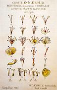 Linnaeus' sexual system with the 24 classes, Systema Naturae (Natural Systems) by Carolus (Carl) Linnaeus / Carl von Linne (Leiden 1735)
