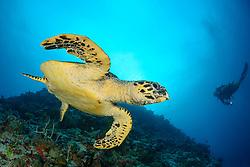 Eretmochelys imbricata, Echte Karettschildkroete und Taucher, Hawksbill Sea Turtle and scuba diver, Malediven, Baa Atoll, Indischer Ozean, Maldives, Indian Ocean